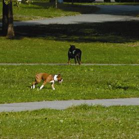Unleashed Dogs a Menace in Juniper