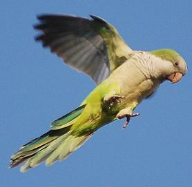 The Wild Parrots of New York City